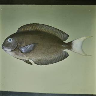 To NMNH Extant Collection (Acanthurus thompsoni FIN026052 Slide 120 mm)
