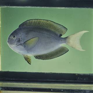 To NMNH Extant Collection (Acanthurus thompsoni FIN026053 Slide 120 mm)