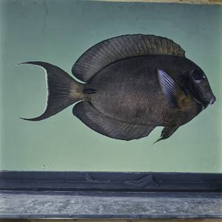 To NMNH Extant Collection (Acanthurus tristis FIN026057 Slide 120 mm)