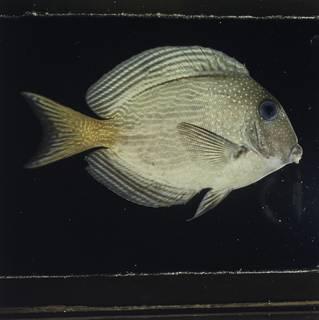 To NMNH Extant Collection (Ctenochaetus marginatus FIN026074B Slide 120 mm)