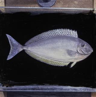 To NMNH Extant Collection (Naso hexacanthus FIN026092 Slide 120 mm)