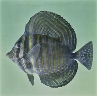 To NMNH Extant Collection (Zebrasoma desjardinii FIN026111 Slide 120 mm)