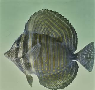 To NMNH Extant Collection (Zebrasoma desjardinii FIN026111C Slide 120 mm)
