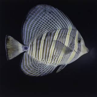 To NMNH Extant Collection (Zebrasoma velifer FIN026121 Slide 120 mm)