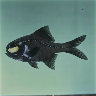 To NMNH Extant Collection (Photoblepharon palpebratum FIN026150 Slide 120 mm)
