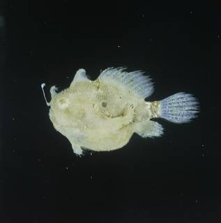 To NMNH Extant Collection (Antennarius hispidus FIN026183 Slide 120 mm)