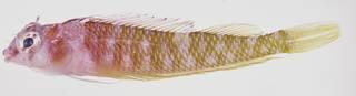 To NMNH Extant Collection (Ceratobregma striata USNM 323780 photograph lateral view)