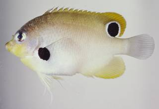 To NMNH Extant Collection (Centropyge nigriocellus USNM 324146 photograph lateral view)