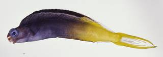 To NMNH Extant Collection (Plagiotremus laudandus USNM 324715 photograph lateral view)