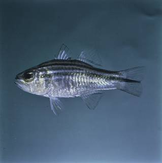 To NMNH Extant Collection (Ostorhinchus fasciatus FIN026352 Slide 120 mm)