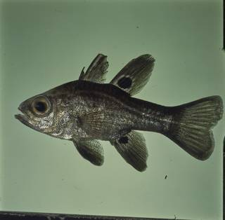 To NMNH Extant Collection (Apogonichthyoides melas FIN026420B Slide 120 mm)