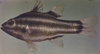 To NMNH Extant Collection (Ostorhinchus nigrofasciatus FIN026436 Slide 120 mm)