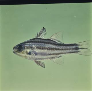 To NMNH Extant Collection (Ostorhinchus taeniophorus FIN026503 Slide 120 mm)