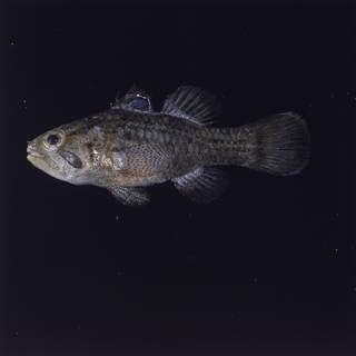 To NMNH Extant Collection (Apogonichthys ocellatus  FIN026537B Slide 120 mm)