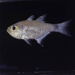 To NMNH Extant Collection (Taeniamia fucata FIN026549 Slide 120 mm)