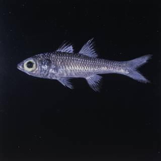 To NMNH Extant Collection (Epigonus fragilis FIN026587 Slide 120 mm)