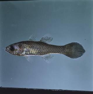 To NMNH Extant Collection (Pseudamia hayashii FIN026639B Slide 120 mm)