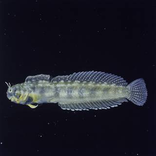 To NMNH Extant Collection (Alloblennius FIN026806B Slide 120 mm)