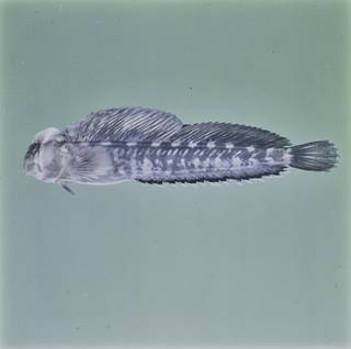 To NMNH Extant Collection (Alticus FIN026810B Slide 120 mm)