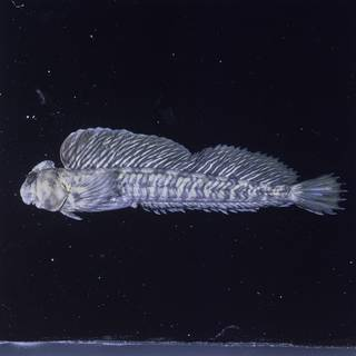 To NMNH Extant Collection (Alticus kirkii FIN026813C Slide 120 mm)
