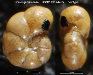 To NMNH Paleobiology Collection (Nonion jamaicense USNM CC 44405 holotype)