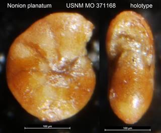 To NMNH Paleobiology Collection (Nonion planatum USNM MO 371168 holotype)