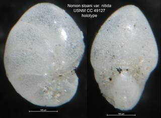 To NMNH Paleobiology Collection (Nonion sloani var. nitida USNM CC 49127 holotype)