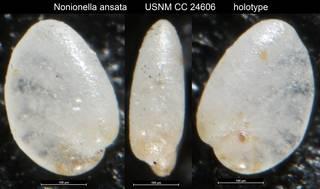 To NMNH Paleobiology Collection (Nonionella ansata USNM CC 24606 holotype)