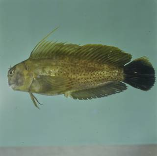 To NMNH Extant Collection (Cirripectes chelomatus FIN026890B Slide 120 mm)