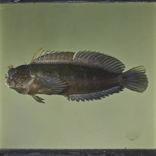 To NMNH Extant Collection (Cirripectes imitator FIN026896 Slide 120 mm)