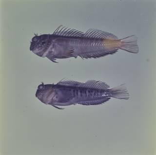To NMNH Extant Collection (Cirripectes quagga and Cirripectes randalli FIN026912 Slide 120 mm)
