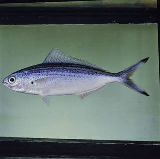 To NMNH Extant Collection (Caesio varilineata FIN027304 Slide 120 mm)