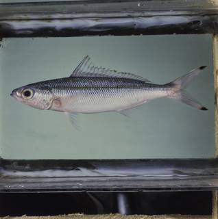 To NMNH Extant Collection (Pterocaesio trilineata FIN027327 Slide 120 mm)