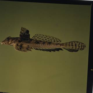 To NMNH Extant Collection (Callionymus FIN027330A Slide 120 mm)
