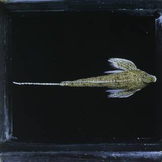 To NMNH Extant Collection (Callionymus decoratus FIN027350 Slide 120 mm)