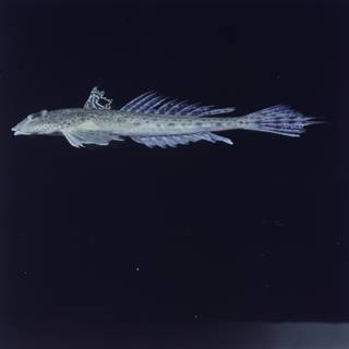To NMNH Extant Collection (Callionymus filamentosus FIN027355 Slide 120 mm)