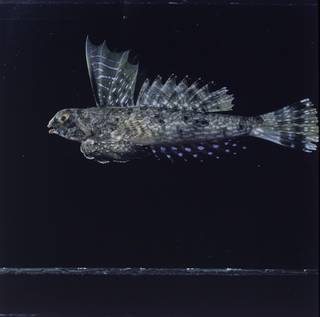 To NMNH Extant Collection (Synchiropus lineolatus FIN027401B Slide 120 mm)
