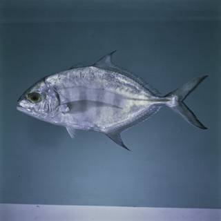 To NMNH Extant Collection (Carangoides ferdau FIN027481 Slide 120 mm)