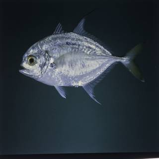 To NMNH Extant Collection (Carangoides hedlandensis FIN027490 Slide 120 mm)
