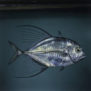 To NMNH Extant Collection (Carangoides hedlandensis FIN027491 Slide 120 mm)