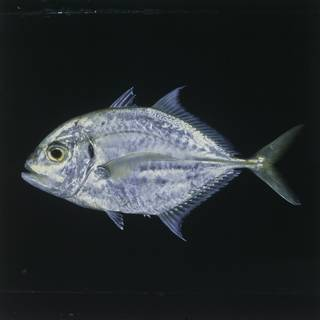 To NMNH Extant Collection (Carangoides malabaricus FIN027494 Slide 120 mm)