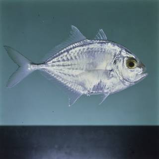 To NMNH Extant Collection (Carangoides malabaricus FIN027495 Slide 120 mm)