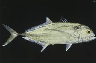 To NMNH Extant Collection (Caranx tille FIN027512 Slide 35 mm)