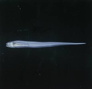 To NMNH Extant Collection (Encheliophis FIN027583 Slide 120 mm)