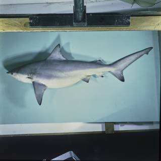 To NMNH Extant Collection (Carcharhinus amboinensis FIN027597 Slide 120 mm)