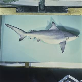 To NMNH Extant Collection (Carcharhinus amboinensis FIN027597B Slide 120 mm)