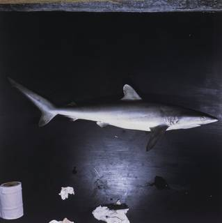 To NMNH Extant Collection (Carcharhinus brevipinna FIN027598 Slide 120 mm)