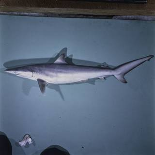 To NMNH Extant Collection (Carcharhinus brevipinna FIN027599 Slide 120 mm)