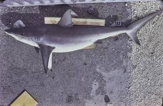 To NMNH Extant Collection (Carcharhinus galapagensis FIN027605 Slide 35 mm)
