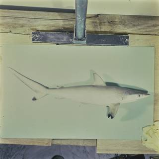 To NMNH Extant Collection (Carcharhinus sorrah FIN027613 Slide 120 mm)